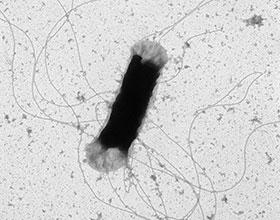 Flagelles d'E.coli - C. Roques - UMR 5503 LGC