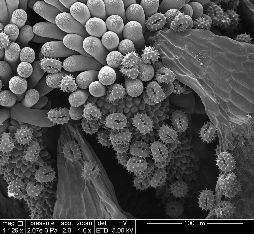 pollens de pâquerettes